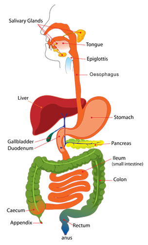 gastrointestinal tract |, Human Body