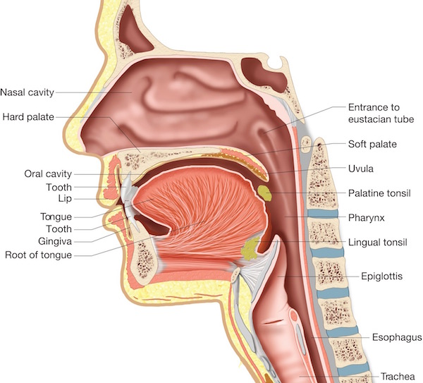 Anatomy Of Oral Cavity Structures Of The Oral Cavity, Pharynx, And Esophagus. Biology - Human Anatomy Library