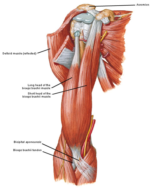 Figure0414A Biceps Brachii KLS Edited