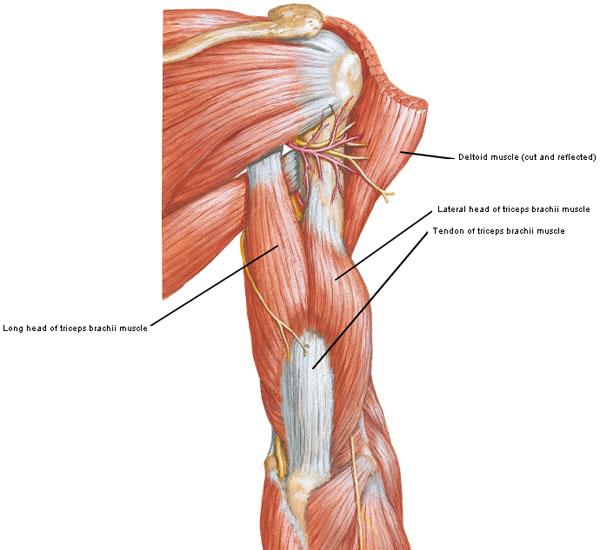 Figure0415A Triceps Brachii KLS Edited