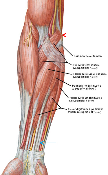 Figure0429 Common Flexor Tendon Muscles KLS Edited