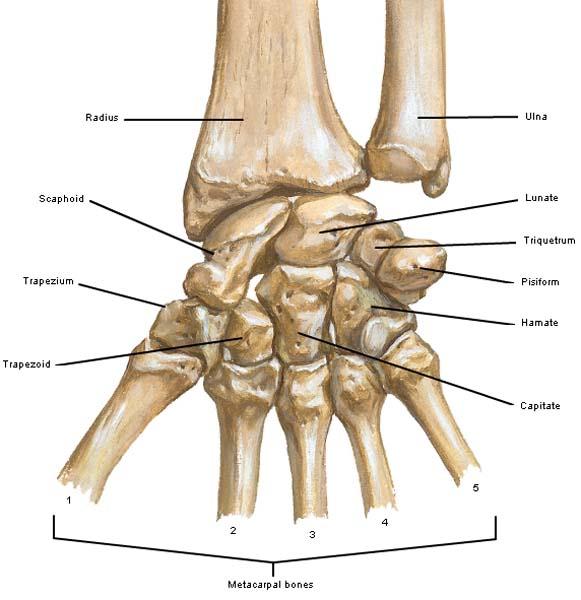 Wrist anatomy carpal bones
