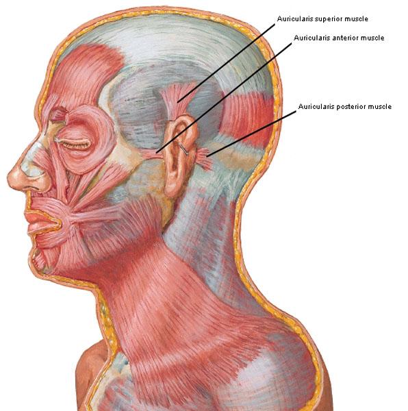 Ear Drum Outlander Anatomy