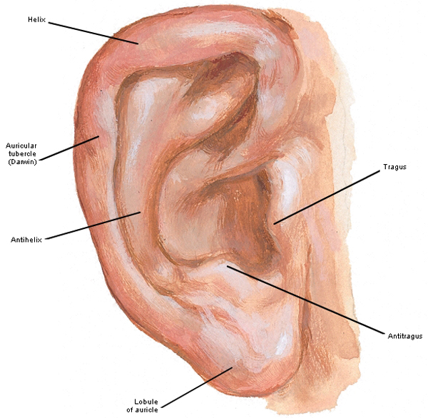 ear lobes – Outlander Anatomy