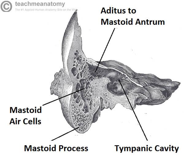 tympanic cavity – Outlander Anatomy