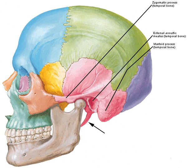 zygomatic arch – Outlander Anatomy