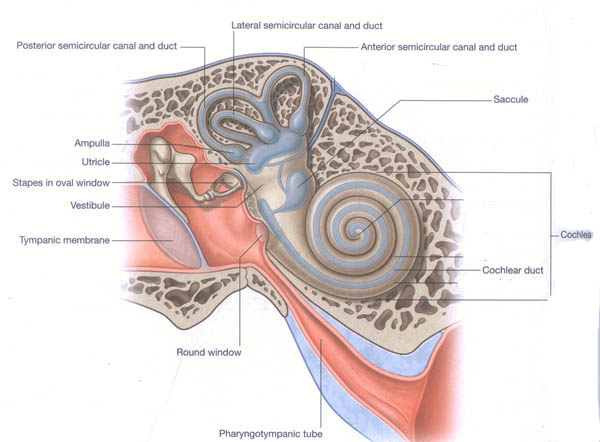 Mastoid process inner ear kls edited ccuart Image collections