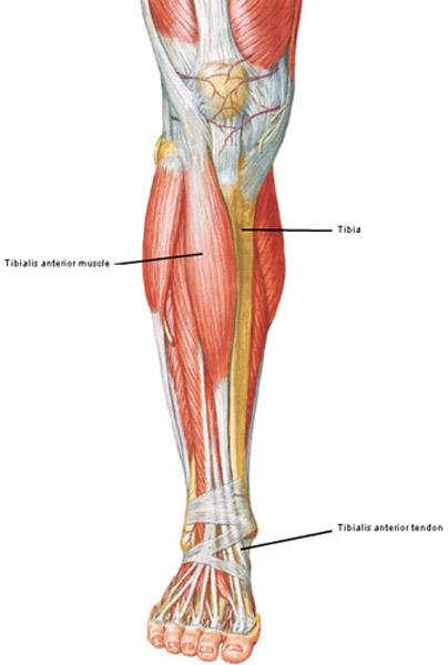 Leg Outlander Anatomy