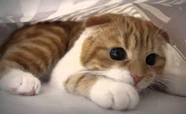 Scottish fold cat KLS edited