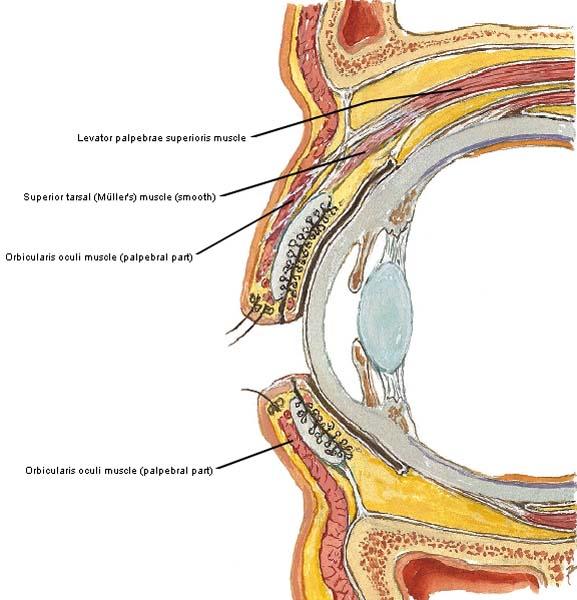 Figure0077B Eyelid Muscles KLS Edited