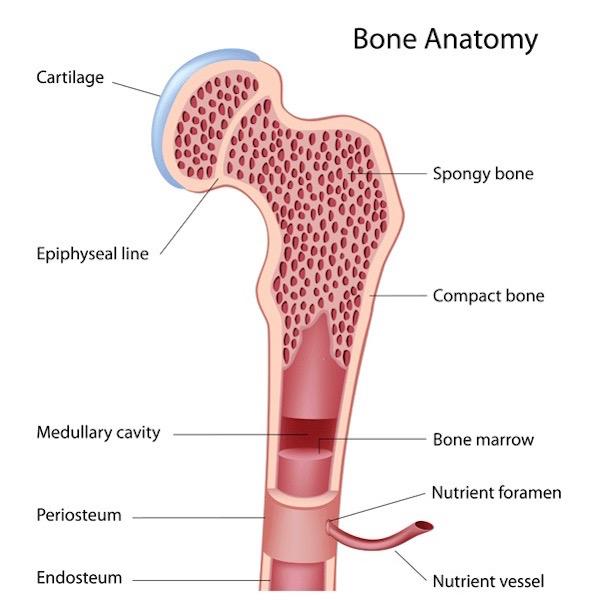 "Anatomy Lesson #39 ""Dem Bones – The Human Skeleton"" – Outlander Anatomy"