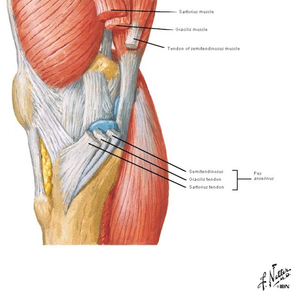 Thighs on muscles of knee the human anatomy