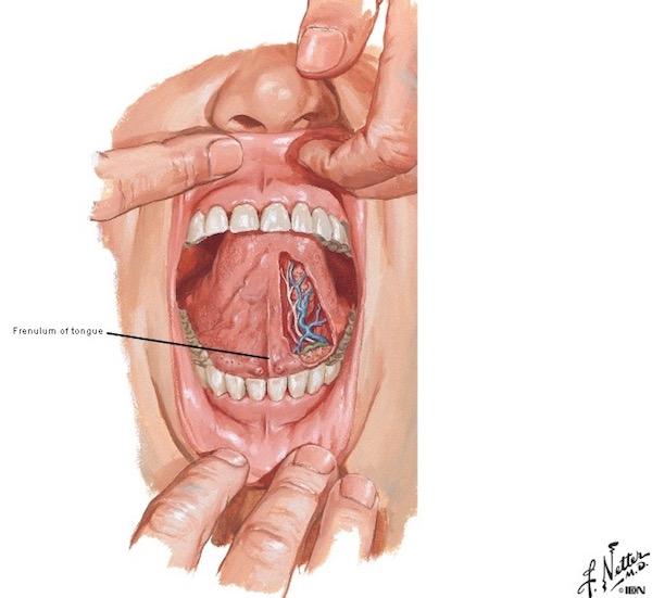 salivary glands outlander anatomy rh outlanderanatomy com