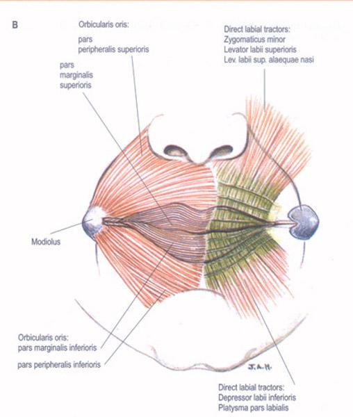 lip-muscles1