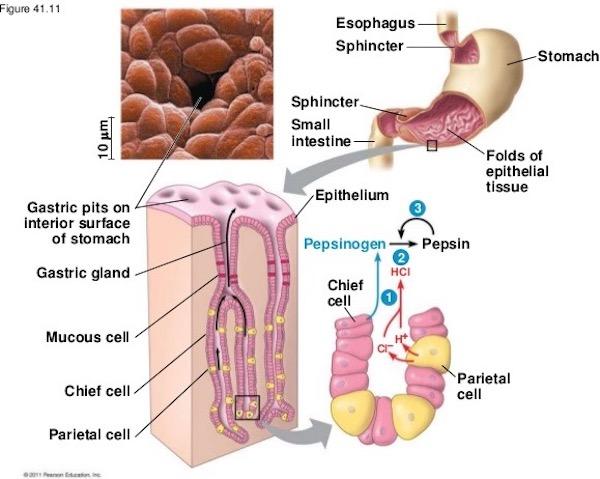 Stomach Outlander Anatomy
