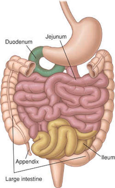 Anatomy Lesson 47 Brave Bowels Gurgly Gut Gi Tract Part 4