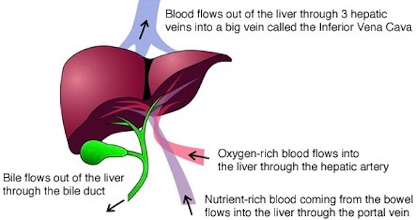Anatomy Lesson 49 Our Liver The Life Giver Gi Tract 6