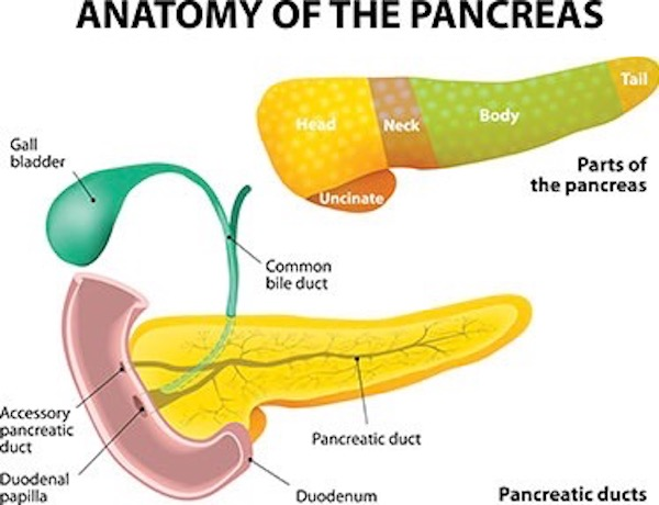 image of the parts of the pancreas